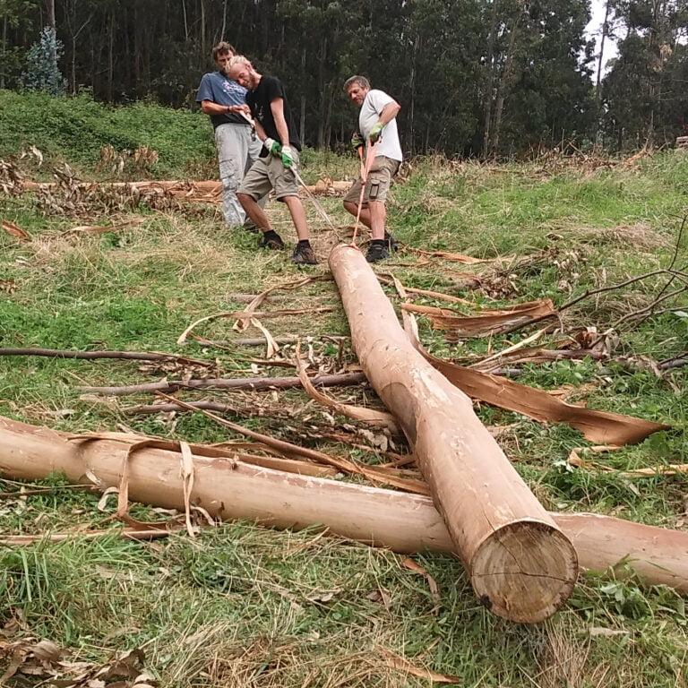 dragging eucalyptus log